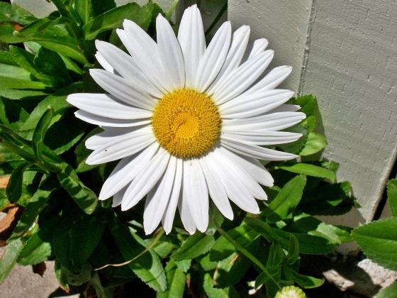 Daisy 052013