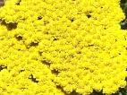 Yellow 052013